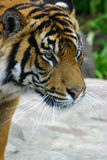 Portrait of tiger. Side portrait of tiger with rocks in background Royalty Free Stock Images