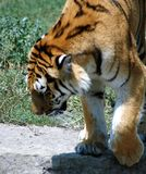 Portrait of tiger. Walking with head down Stock Photos