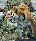 Portrait of tiger. Walking outdoors Royalty Free Stock Photography
