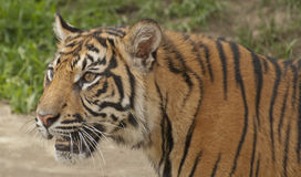 Portrait of tiger. The tiger is the largest cat species Stock Photography