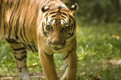Portrait of a tiger Royalty Free Stock Image