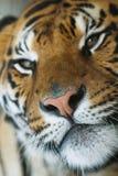 Portrait of tiger Stock Image