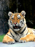 Portrait of a Tiger Royalty Free Stock Photo