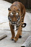 Portrait of a tiger. Portrait of an adult tiger walking Stock Images