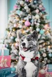 Portrait tiger Akita dog in the forest in christmas tree royalty free stock photography
