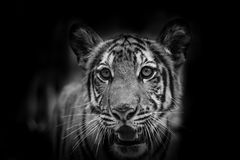 The portrait of tiger Stock Photo