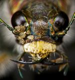 Insect portrait: tiger beetle Royalty Free Stock Photos