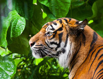 Portrait of a tiger. close-up Royalty Free Stock Photos