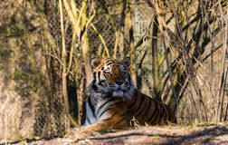 A portrait of a tiger stock images