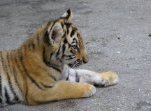 Portrait of a tiger cub Royalty Free Stock Images