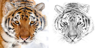 Portrait of tiger before and after drawn by hand in pencil. Originals, no tracing Royalty Free Stock Images