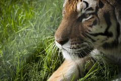Portrait of tiger on grass Royalty Free Stock Photos