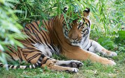 Portrait of tiger on grass Stock Photography