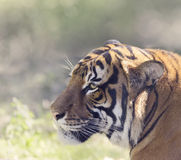Portrait of Tiger. Tiger Head,Close Up Shot Stock Photos