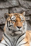 Portrait of a tiger Stock Photography