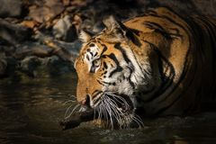 Portrait of tiger. Tiger playing branches in the pond. Panthera tigris corbetti in the natural habitat, wild dangerous animal in the natural habitat, in Thailand stock photo