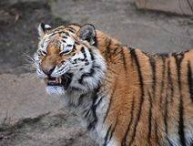 A portrait of a tiger royalty free stock image
