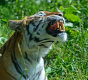 Portrait of a Tiger Stock Image