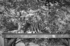 Portrait of a Tiger. A tiger portrait in black and white Royalty Free Stock Images