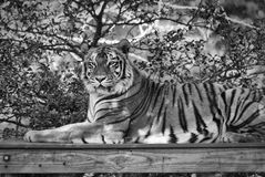 Portrait of a Tiger. A tiger portrait in black and white Stock Photography