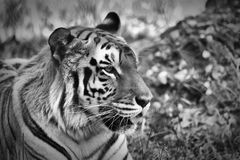 Portrait of a Tiger. A tiger portrait in black and white Royalty Free Stock Photography