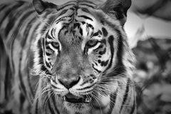 Portrait of a Tiger. A tiger portrait in black and white Royalty Free Stock Photos