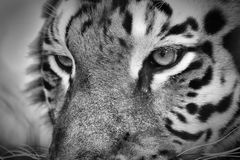 Portrait of a Tiger. A tiger portrait in black and white Royalty Free Stock Image