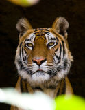 Portrait of a tiger in the wild. India. Bandhavgarh National Park. Madhya Pradesh. Royalty Free Stock Photos