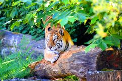 Resting tiger under the shadow. Portrait of a tiger on a wooden trunk surrounded by green vegetation Stock Photos