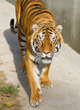 Portrait of Tigers Royalty Free Stock Image