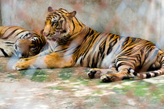Portrait of tigers Royalty Free Stock Photography