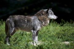 Portrait of a timberwolf Stock Photos
