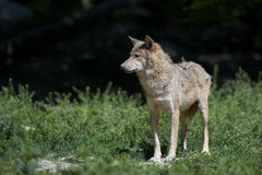 Portrait of a timberwolf Stock Photography