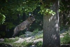 Portrait of a timberwolf Stock Image