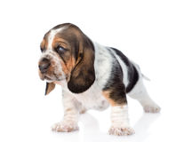 Portrait tiny basset hound puppy. isolated on white background Stock Photo