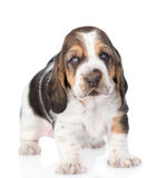 Portrait tiny basset hound puppy. isolated on white background Royalty Free Stock Image