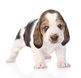 Portrait tiny basset hound puppy. isolated on white background Stock Photography