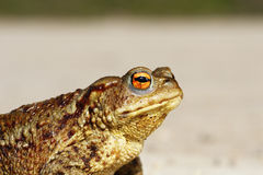 Portrait of tiny common toad Stock Photography