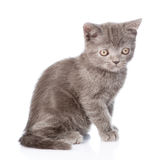 Portrait tiny gray kitten. isolated on white background Royalty Free Stock Image