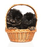 Portrait of a tiny Spitz puppies in basket on white background stock photo