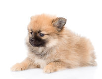 Portrait tiny spitz puppy on white background Royalty Free Stock Photography