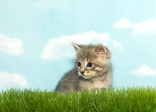 Portrait of a tiny tabby kitten in tall grass. Portrait of one gray and tan tabby kitten sitting in tall grass looking to viewers left, blue background sky with royalty free stock photo
