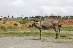 Portrait of a tired african donkey Royalty Free Stock Image