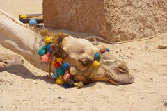Portrait of a tired dromedary camel sleeping lying on the ground Royalty Free Stock Photo