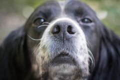 Portrait of tired and sad english setter dog.  Stock Images