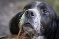 Portrait of tired and sad english setter dog.  Stock Image
