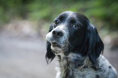 Portrait of tired and sad english setter dog face head. Portrait of tired english setter dog face looking at camera Stock Photography