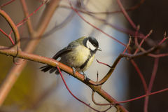 Portrait of tit on a branch Stock Photos
