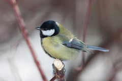 Parus major Royalty Free Stock Images