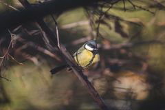 Portrait of a tit on a tree branch royalty free stock images